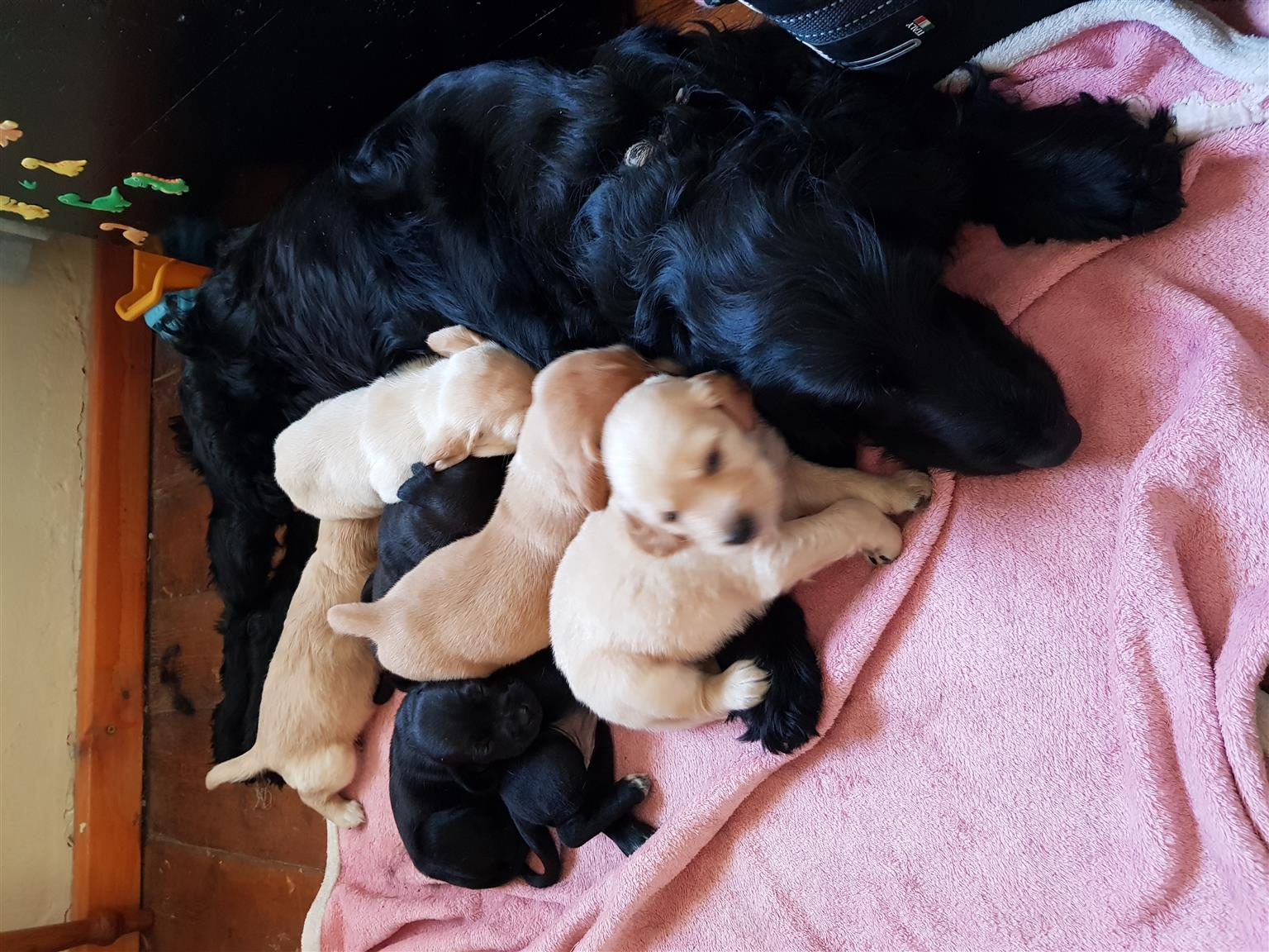 Spaniel puppies available