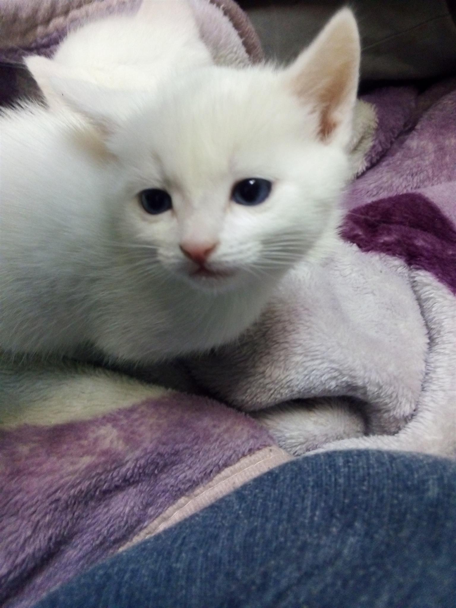 Siamese x kitten