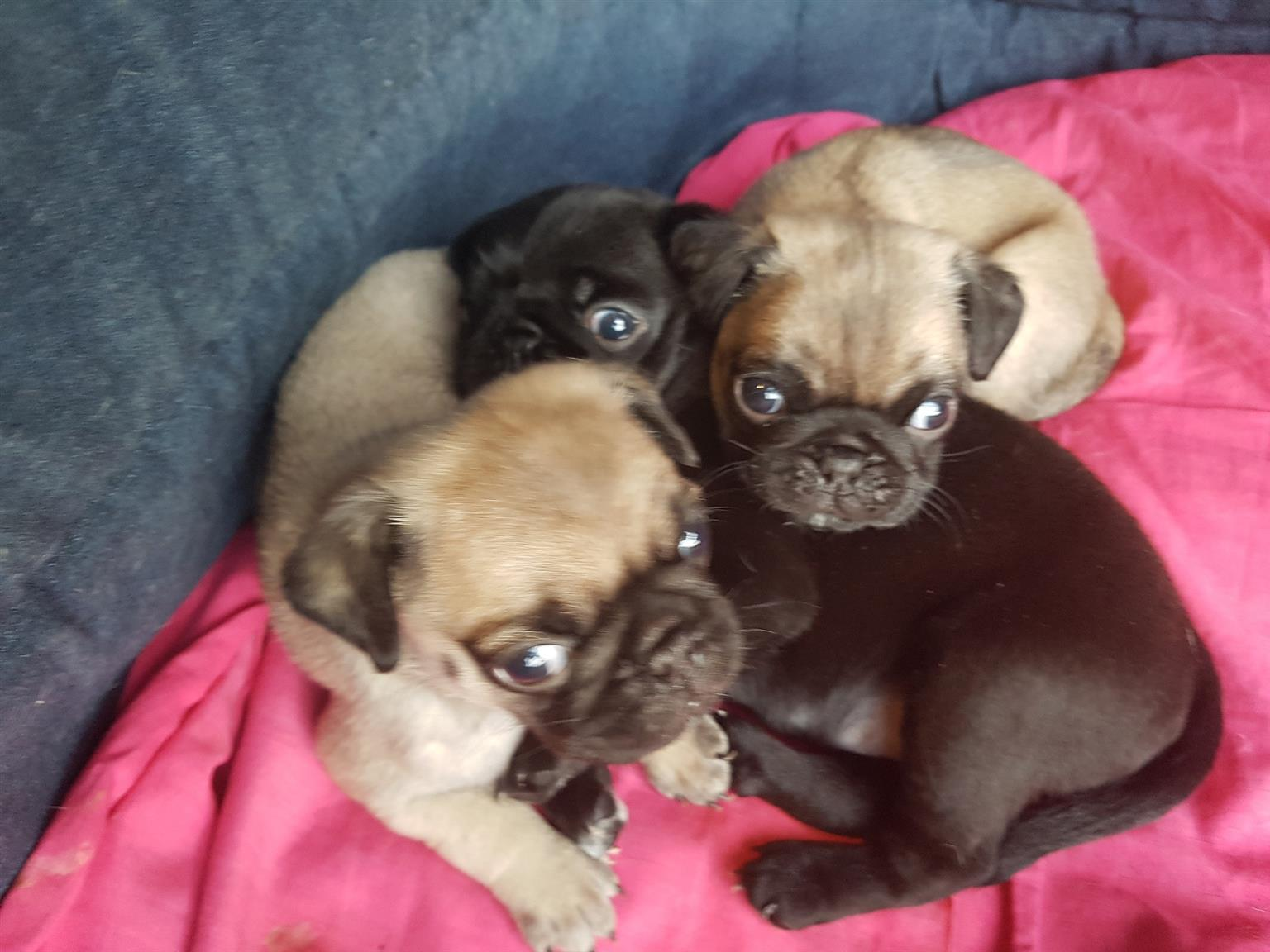Pug puppies for sale | Junk Mail