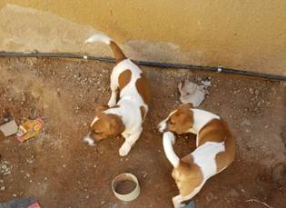 Two Male Jackkies short legged pups