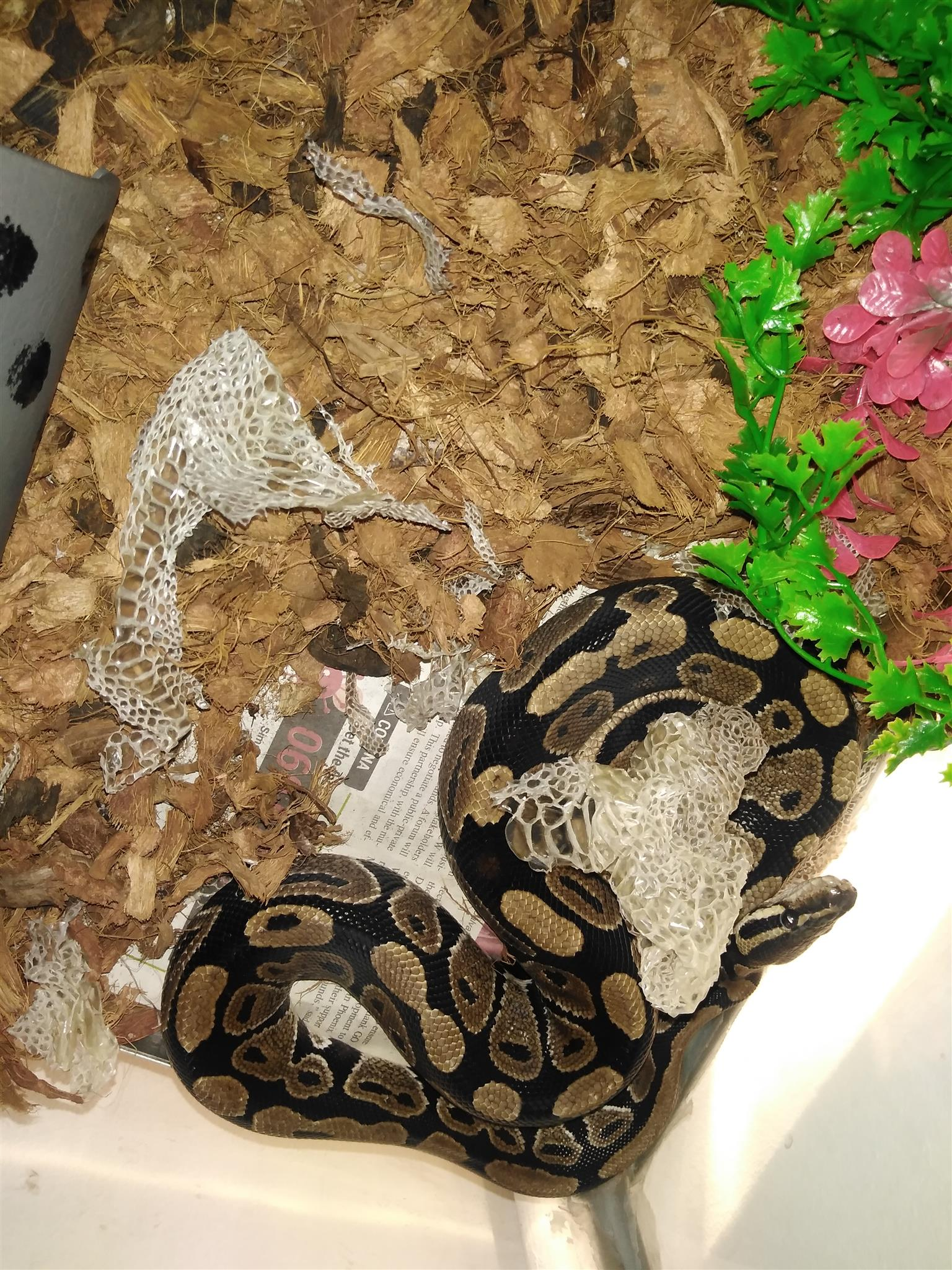 Ball python for sale with custom tank