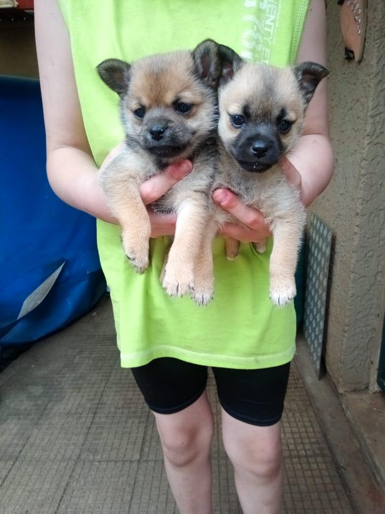 Toypom and Shuahua cross puppies.