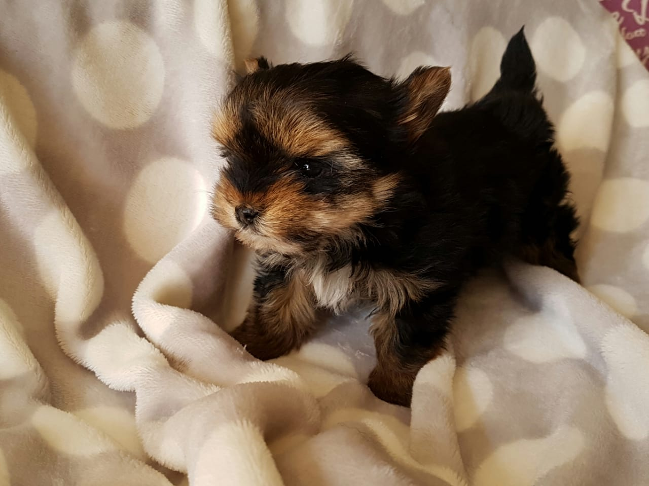 Yorkshire Terrier female Puppy for sale