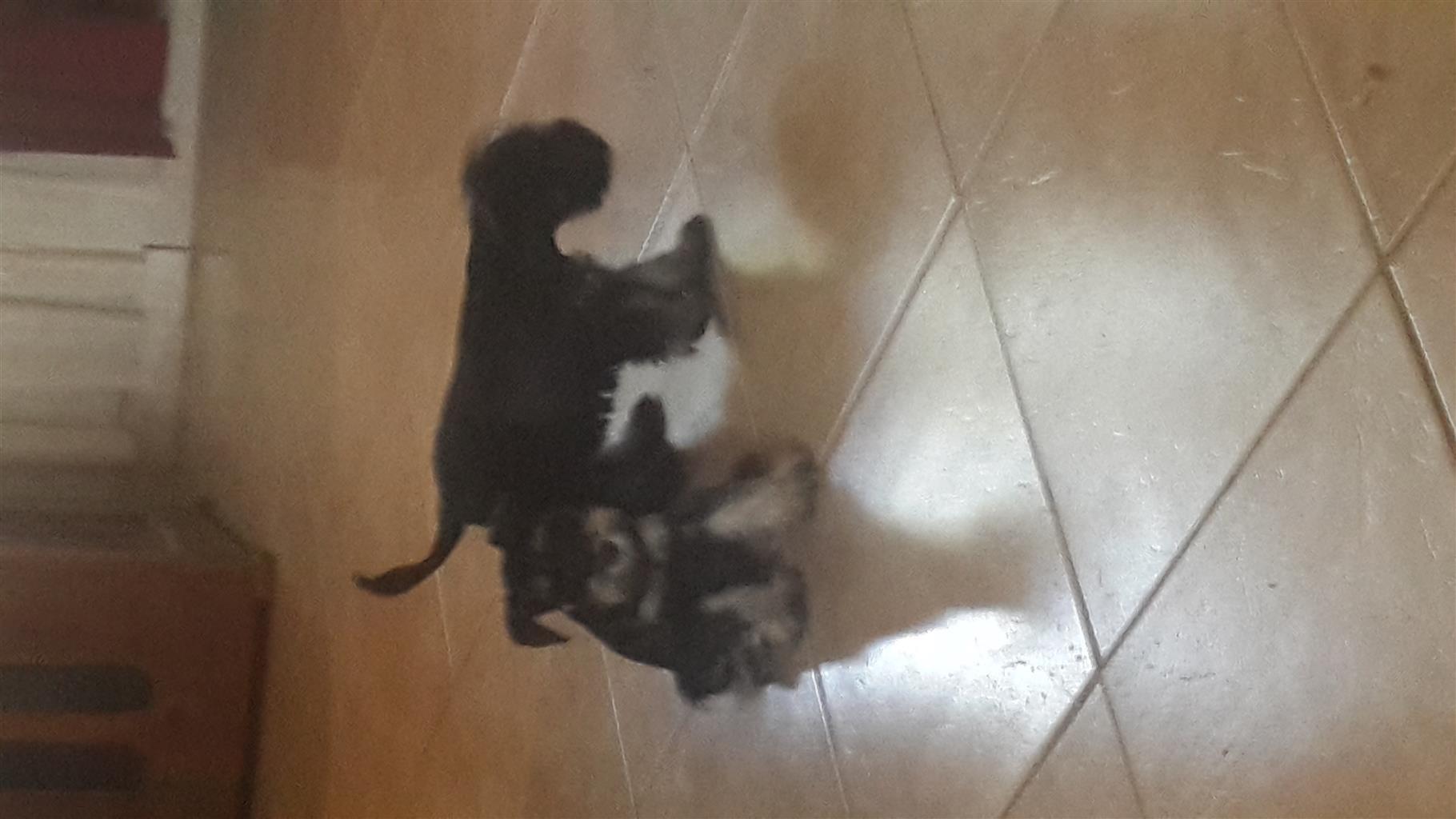 Mini Schnauzer puppies