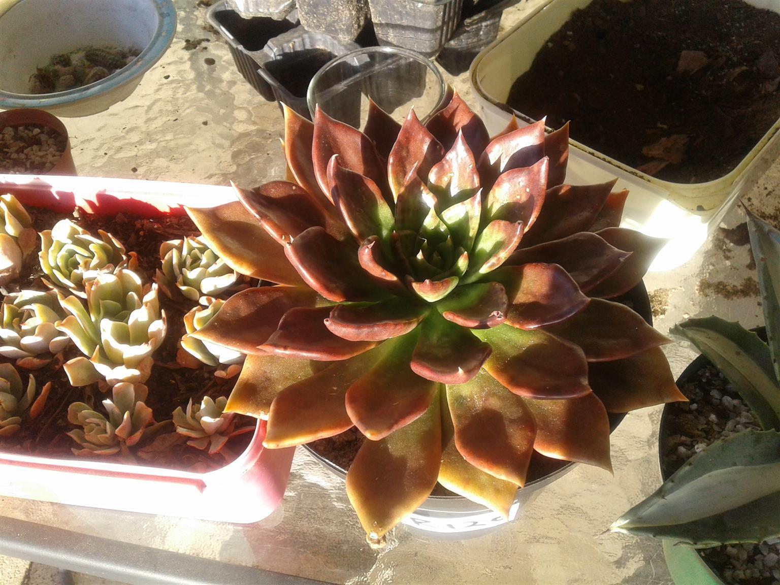 Succulents for sale 🌵