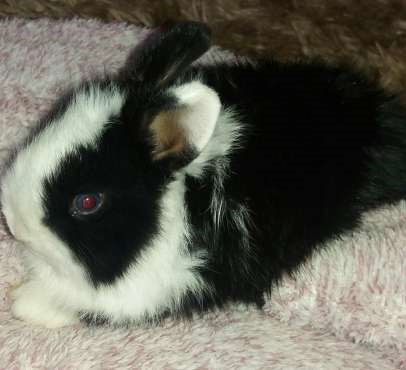 Dwarf Angora Bunnies for sale