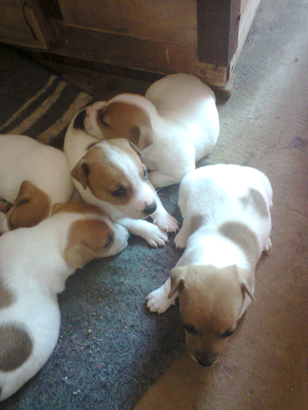 Pure breed Jack Russell's