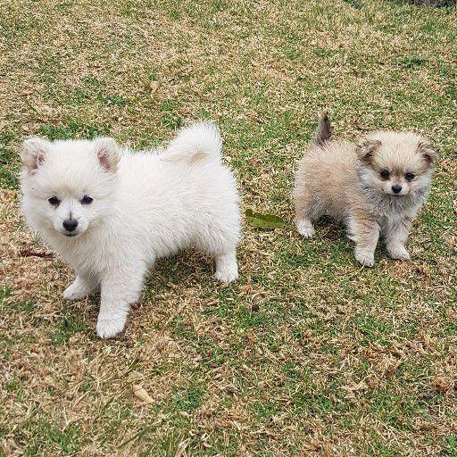 small little pom pom babies