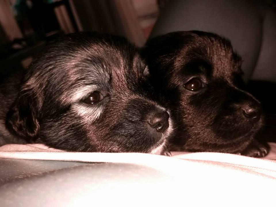 Beautiful 6 week old puppies