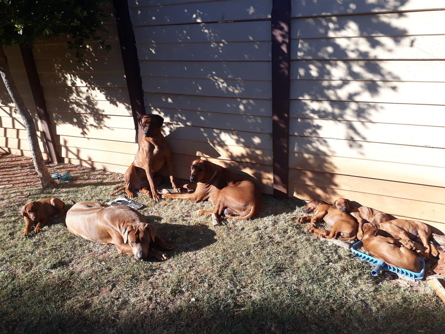 Thoroughbred Rhodesian Ridgeback Puppies