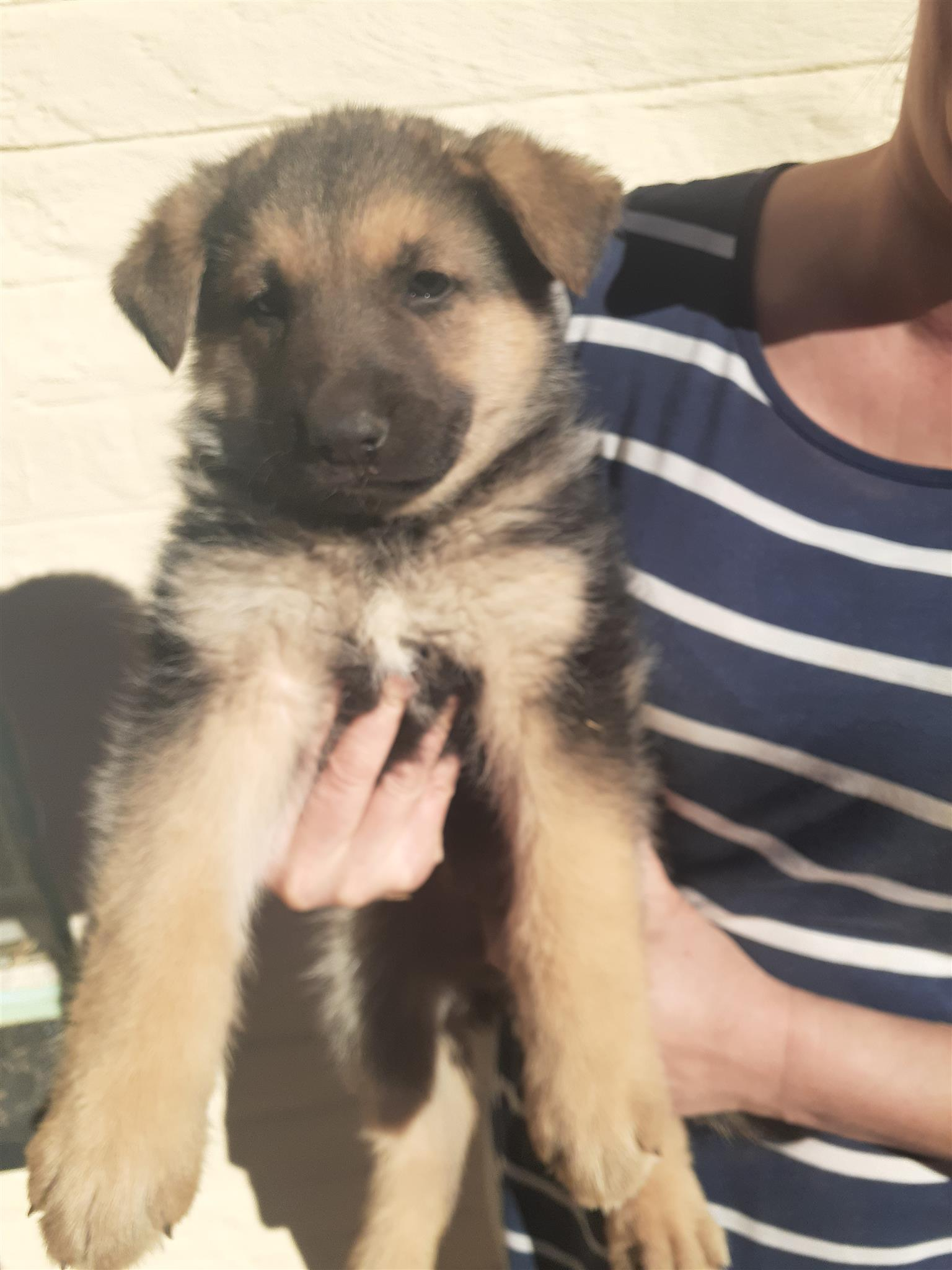 German Shepherd Puppies For Sale Junk Mail