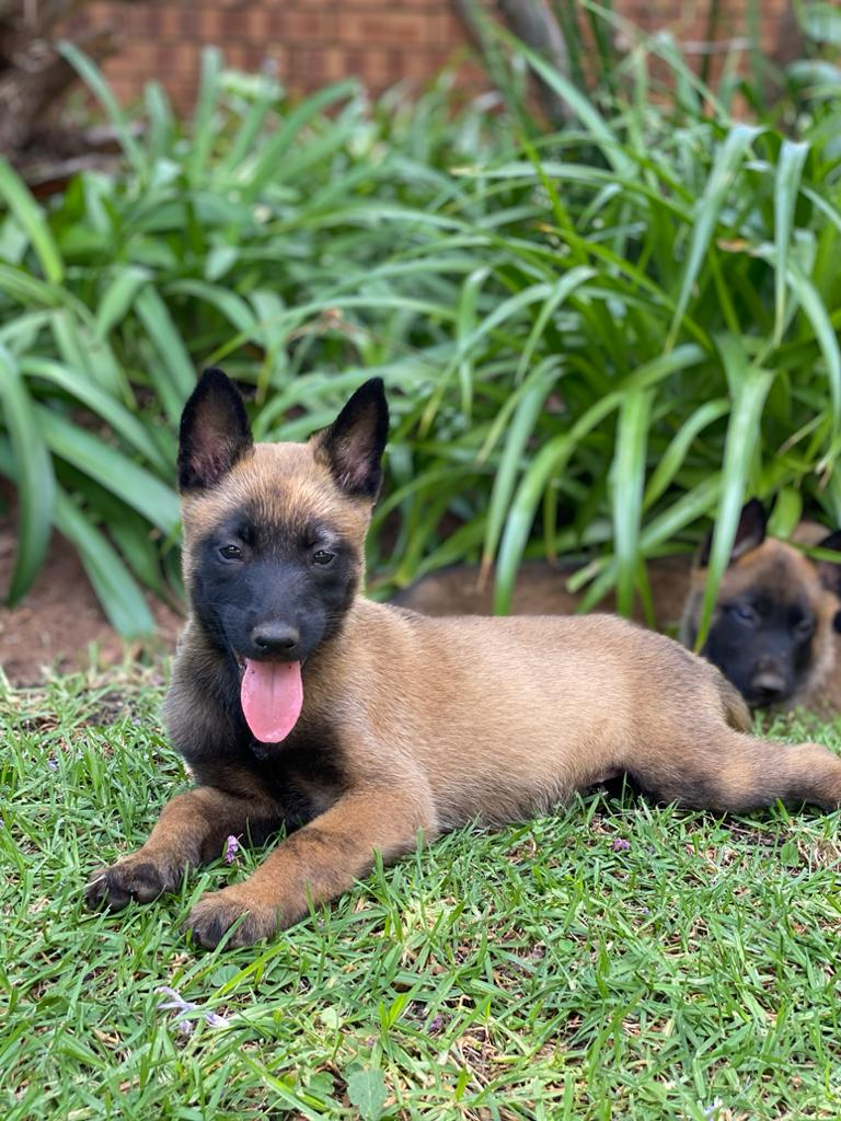 Belgian Shepherd Malinois Puppies