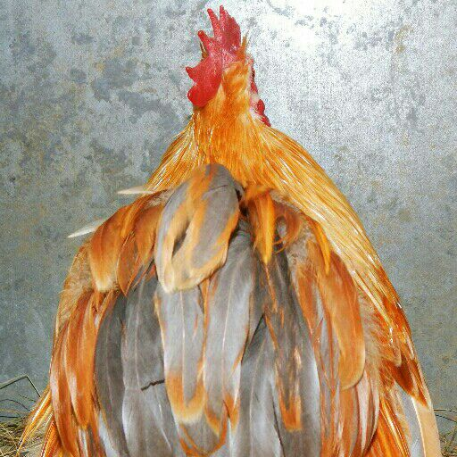 Pekin Bantams. Top quality, various colours.