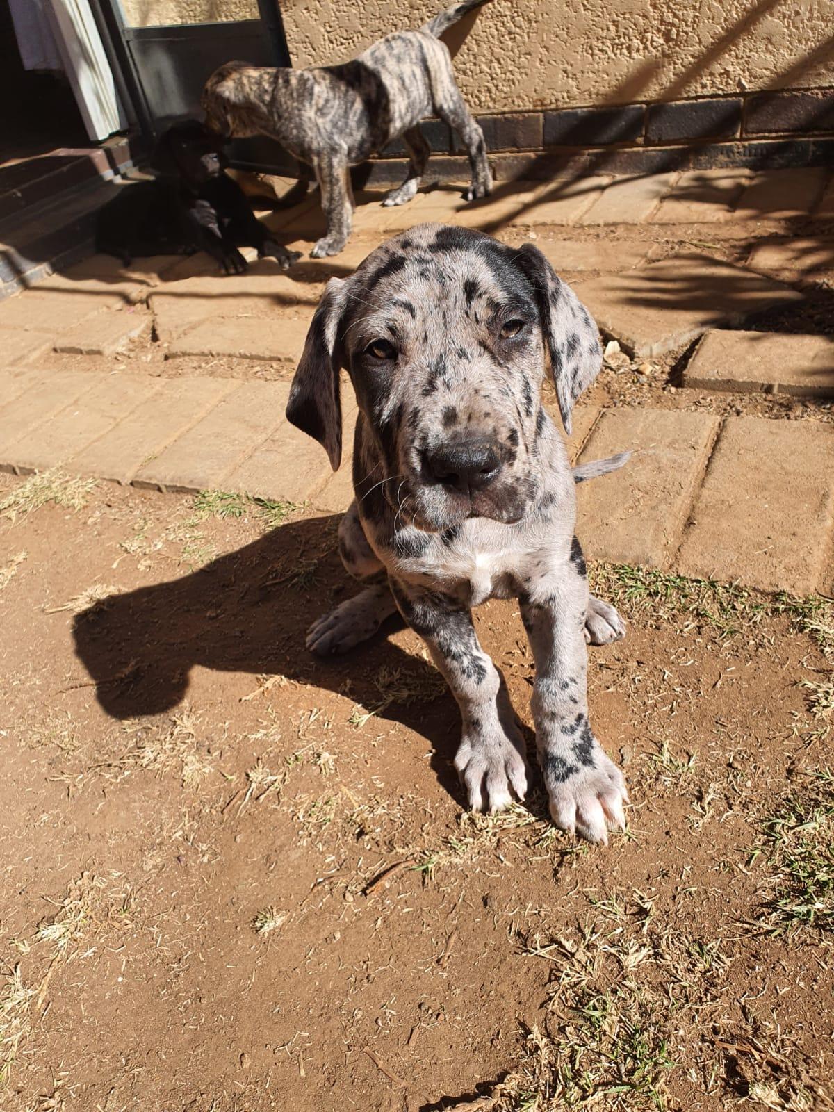 Registered Gerat dane Puppies
