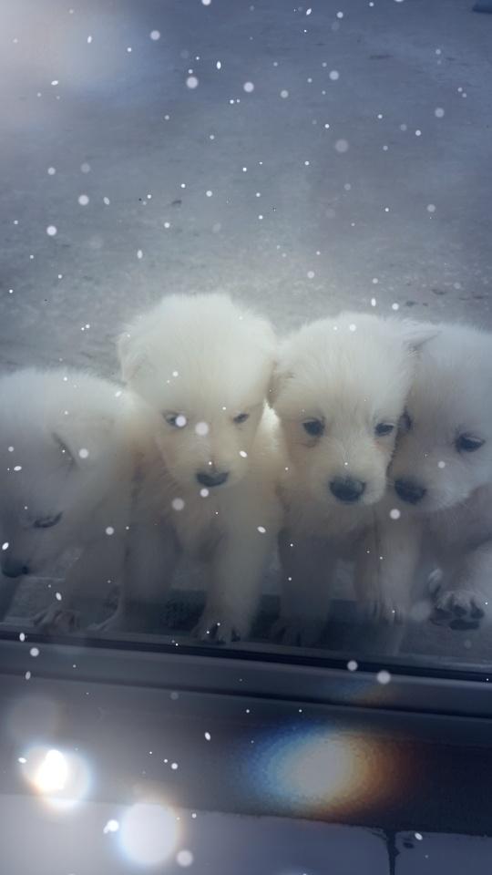 Pure Bred Swiss Shepherd Pups