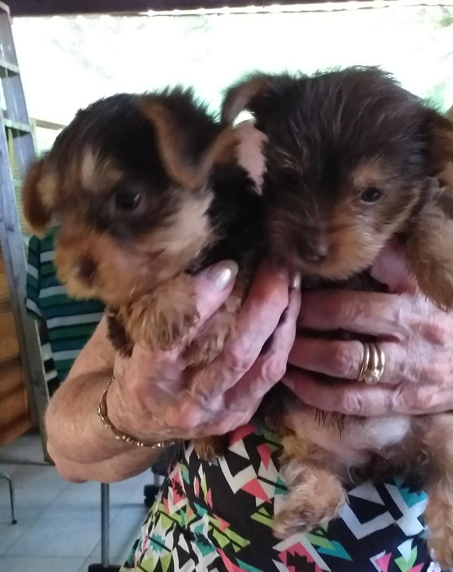 YORKIES(TWO LADIES AND ONE GENTLEMAN) LOOKING FOR COMPANIONSHIP.