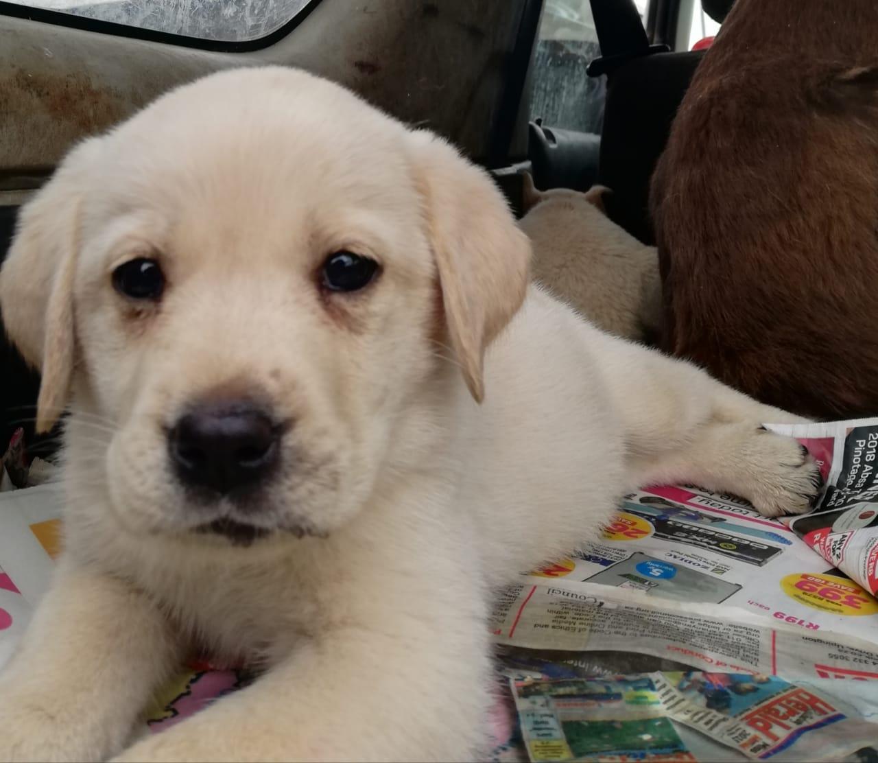 Labrador.pups born 6 of December's.