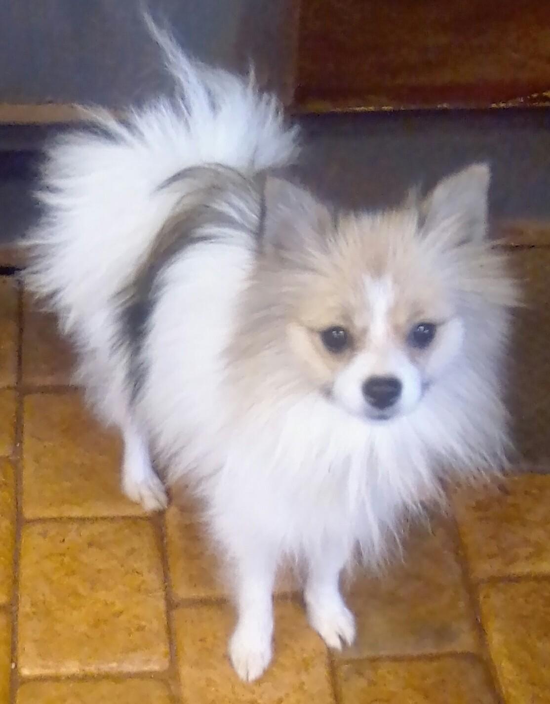 Tiny Male Toy Pomeranian puppy