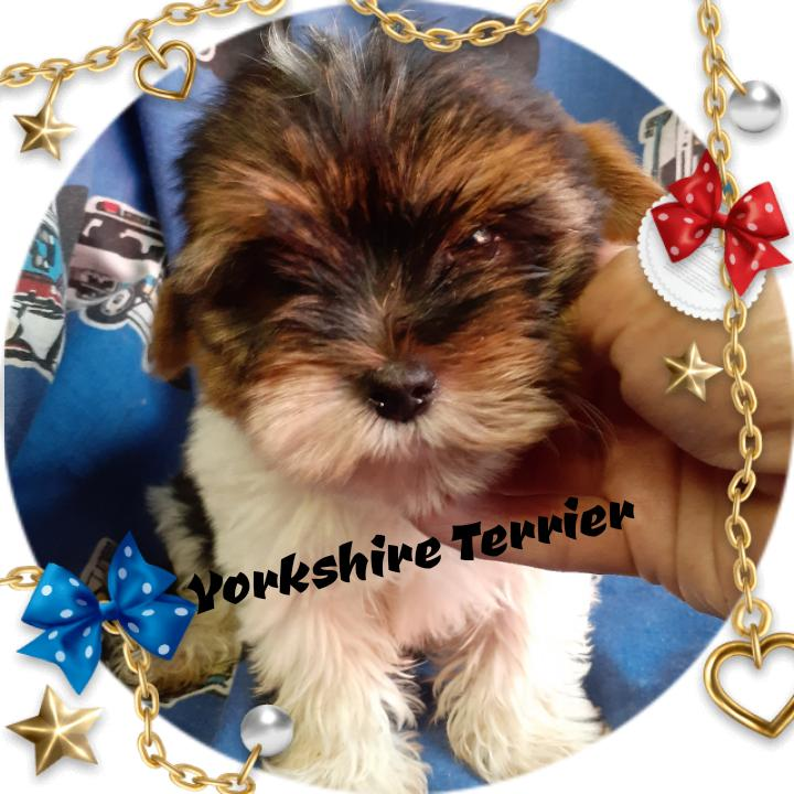 Yorkie pocket size pups