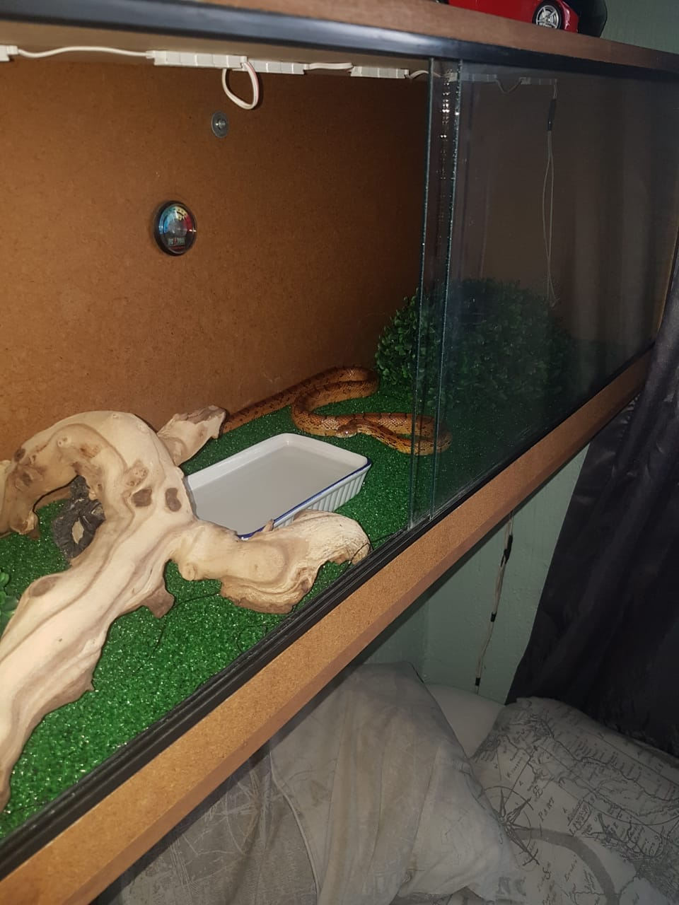 Corn snake very Tame for sale R1600