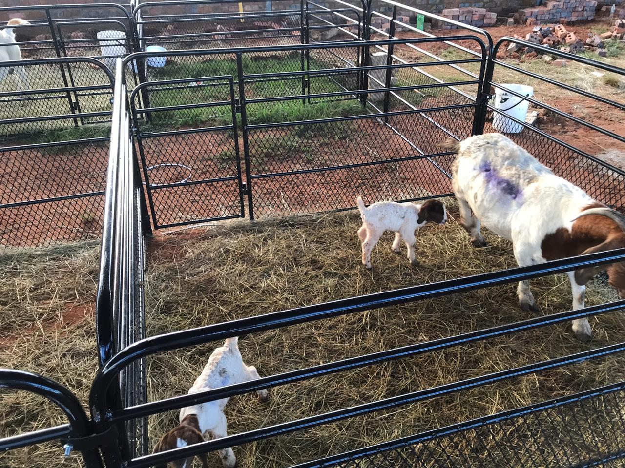 Cattle , goats and sheep steel handling equipment