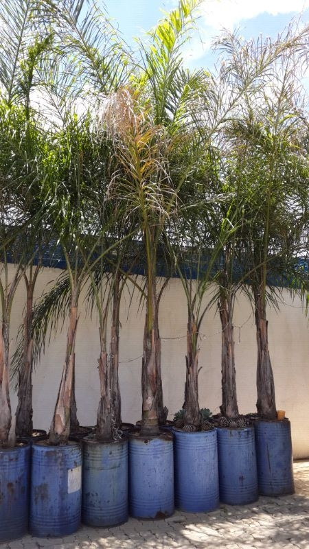 Beautiful Queen Palm Trees Hardy Healthy