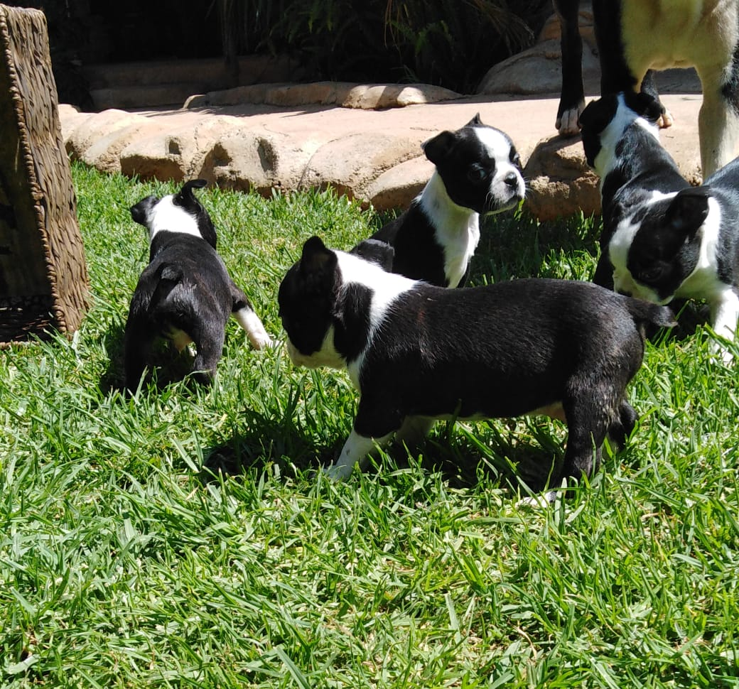 Boston Terriers