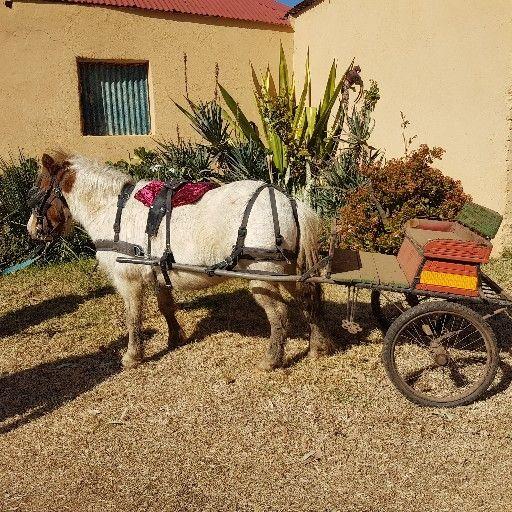 Pony gelding