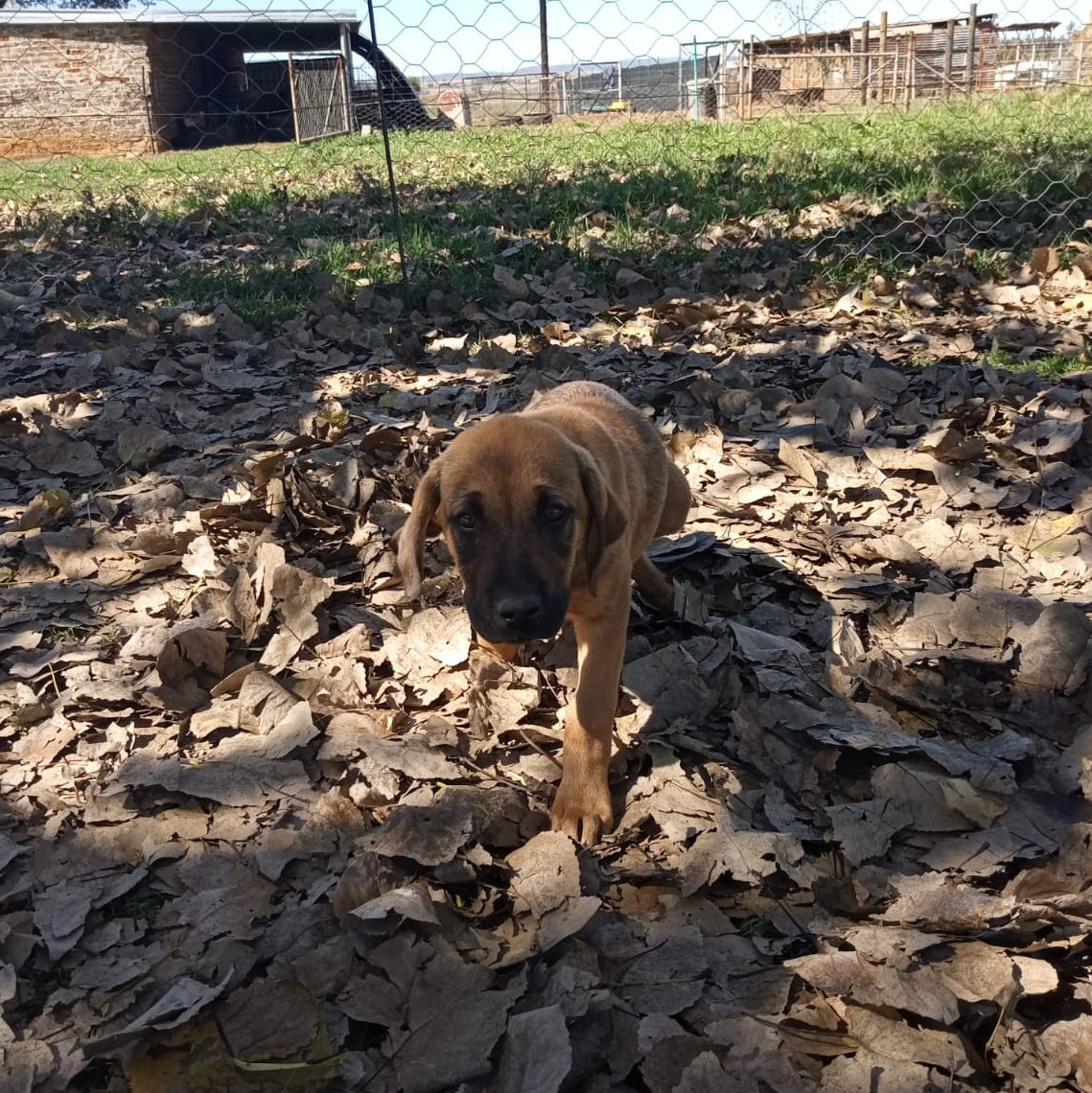 Anatolian Shepherd / Rhodesian Ridgeback Puppy For Sale