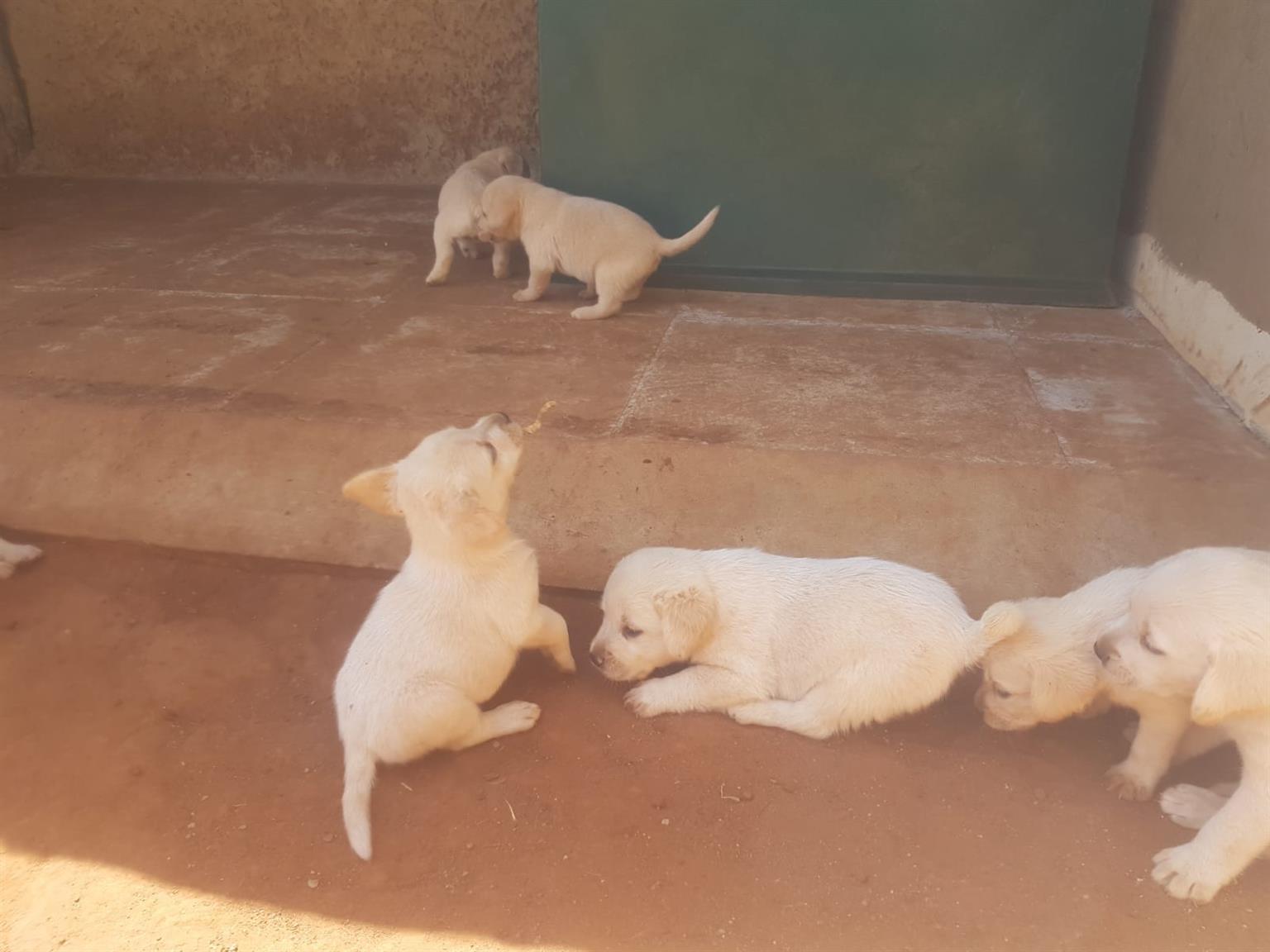 Opregte Labrador puppy 9 weke