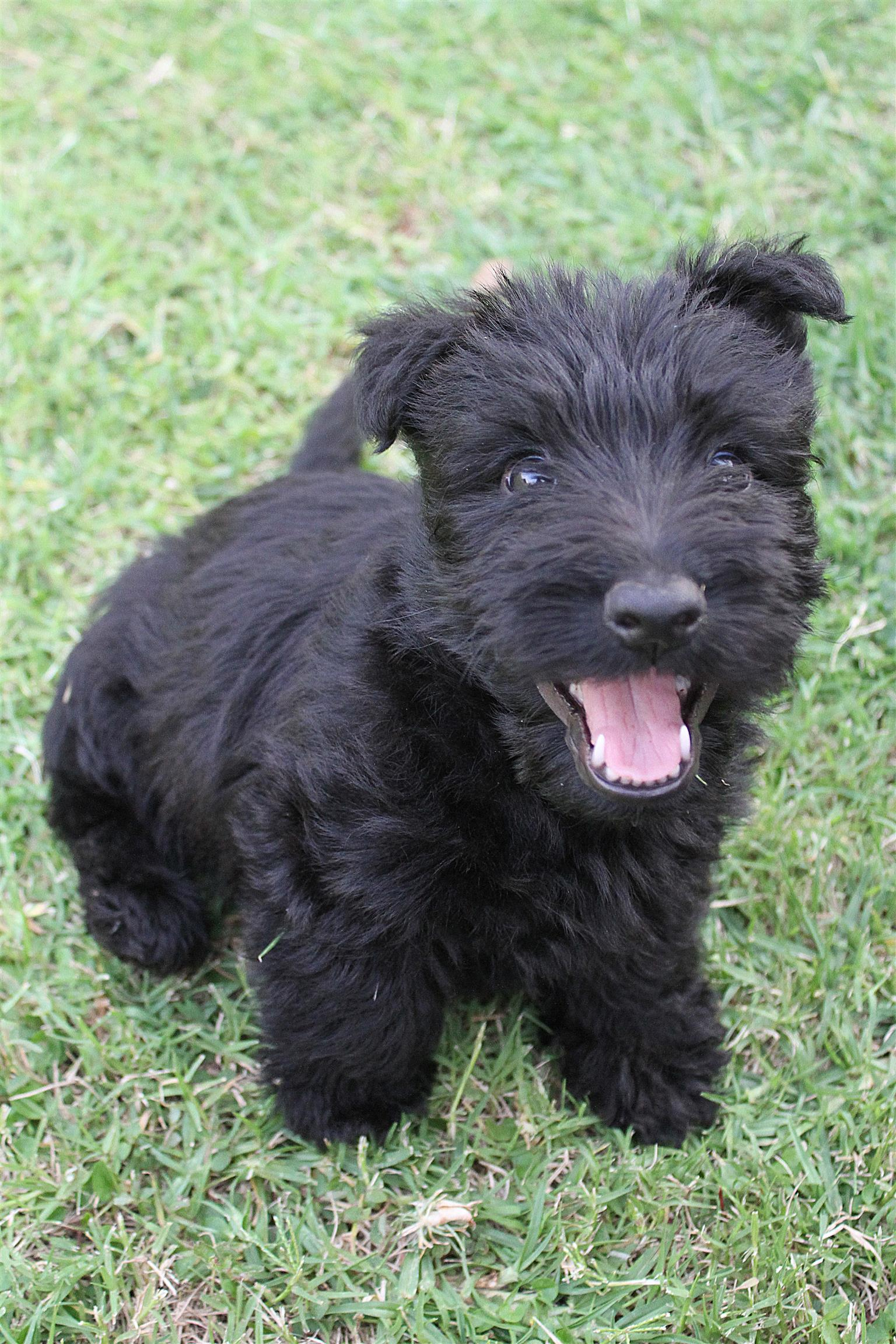 Purebred Scottish Terrier puppies for sale