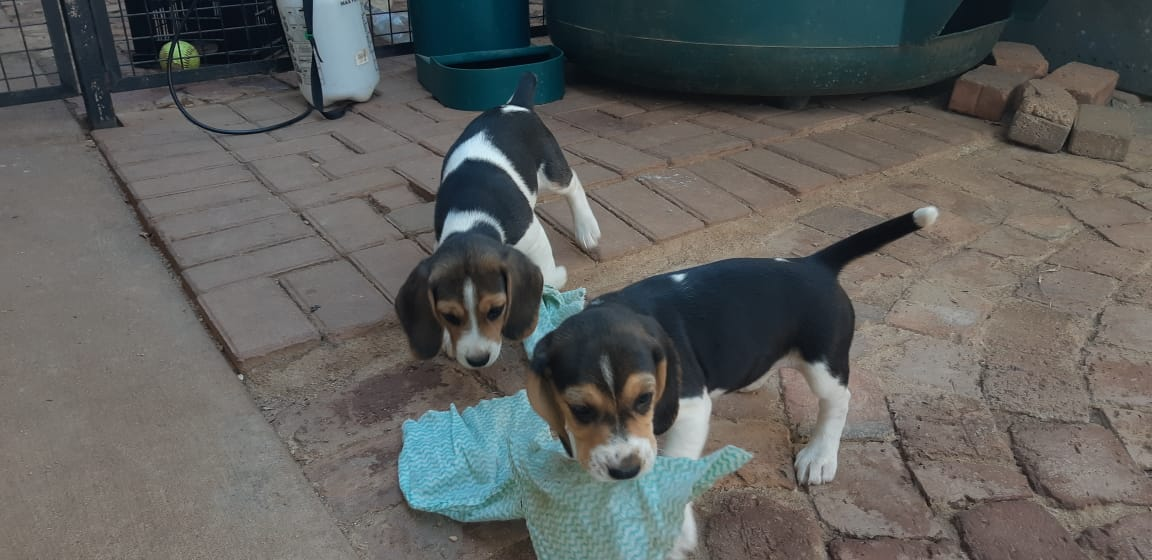 BEAUTIFUL PURE BREED BEAGLE PUPPIES