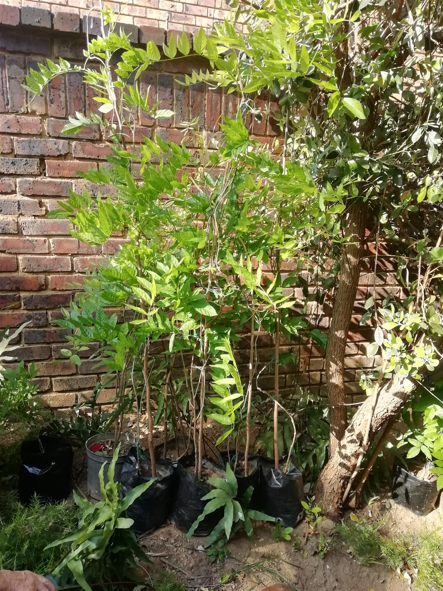 Wisteria plants 3 years old in pots