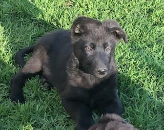 German Shepherd/Duitse Herders Hond
