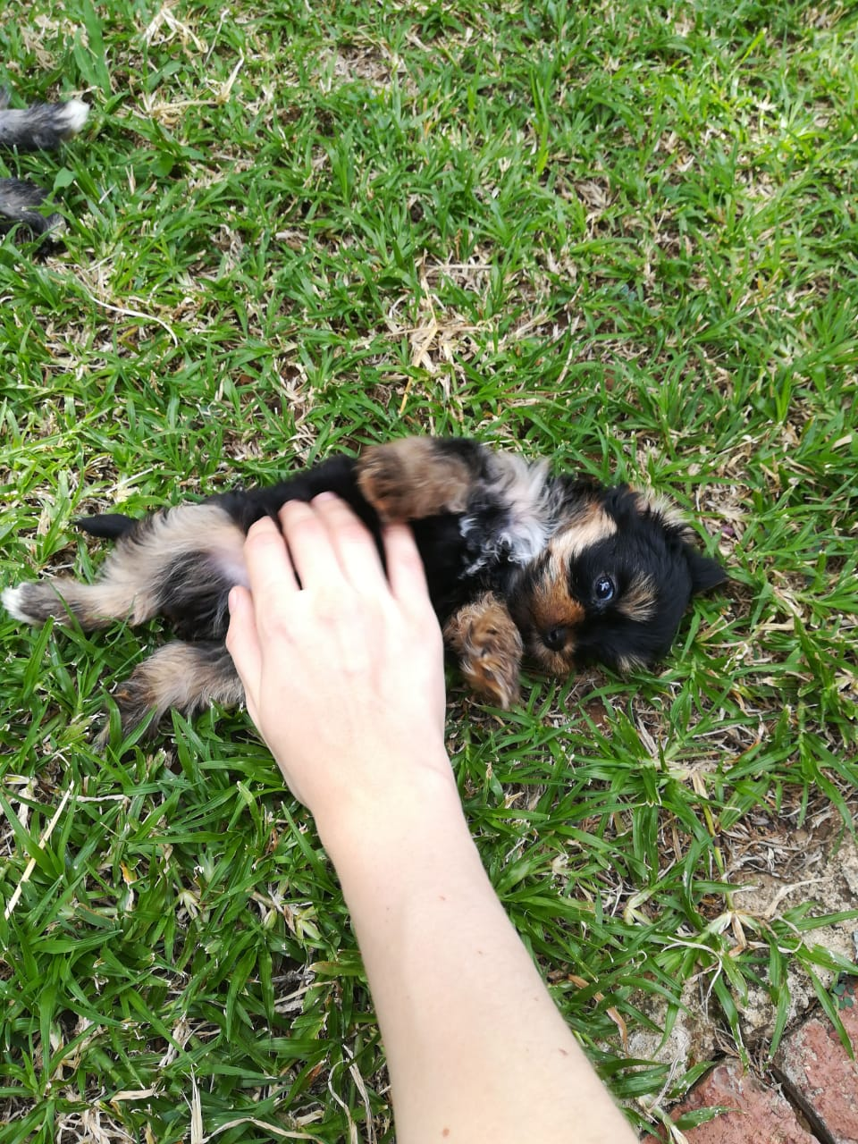 3 x Yorshire  Puppies for sale (Small Size)