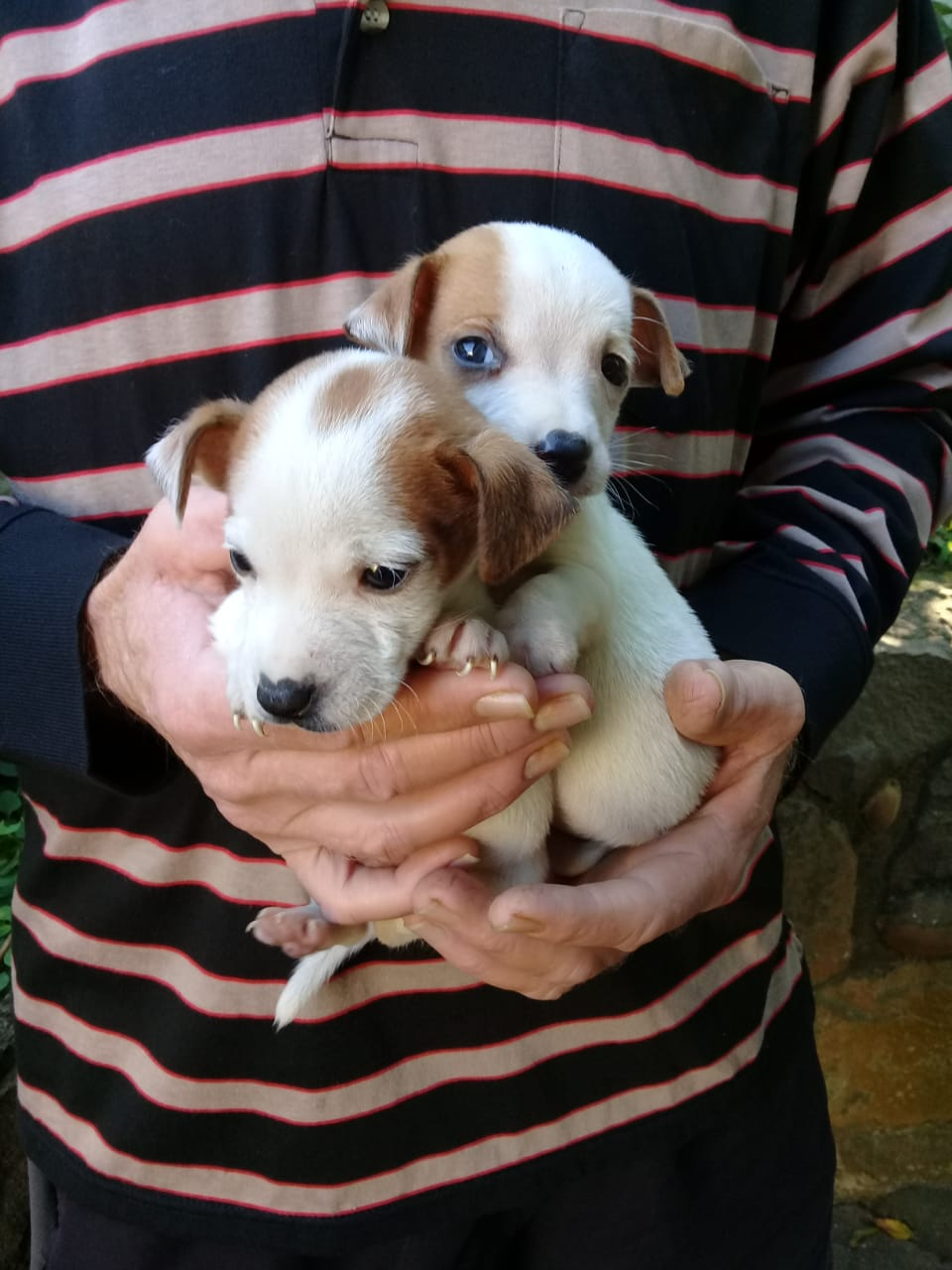 1 MALE LEFT  VACCINATED .PLAYFULL JACK RUSSELL SHORT LEGGED PUPPY  AVAILABLE.