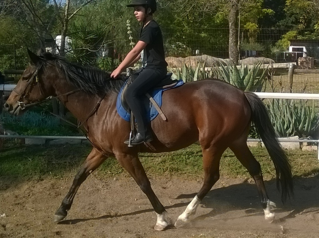 Stunning welsh cross pony for sale