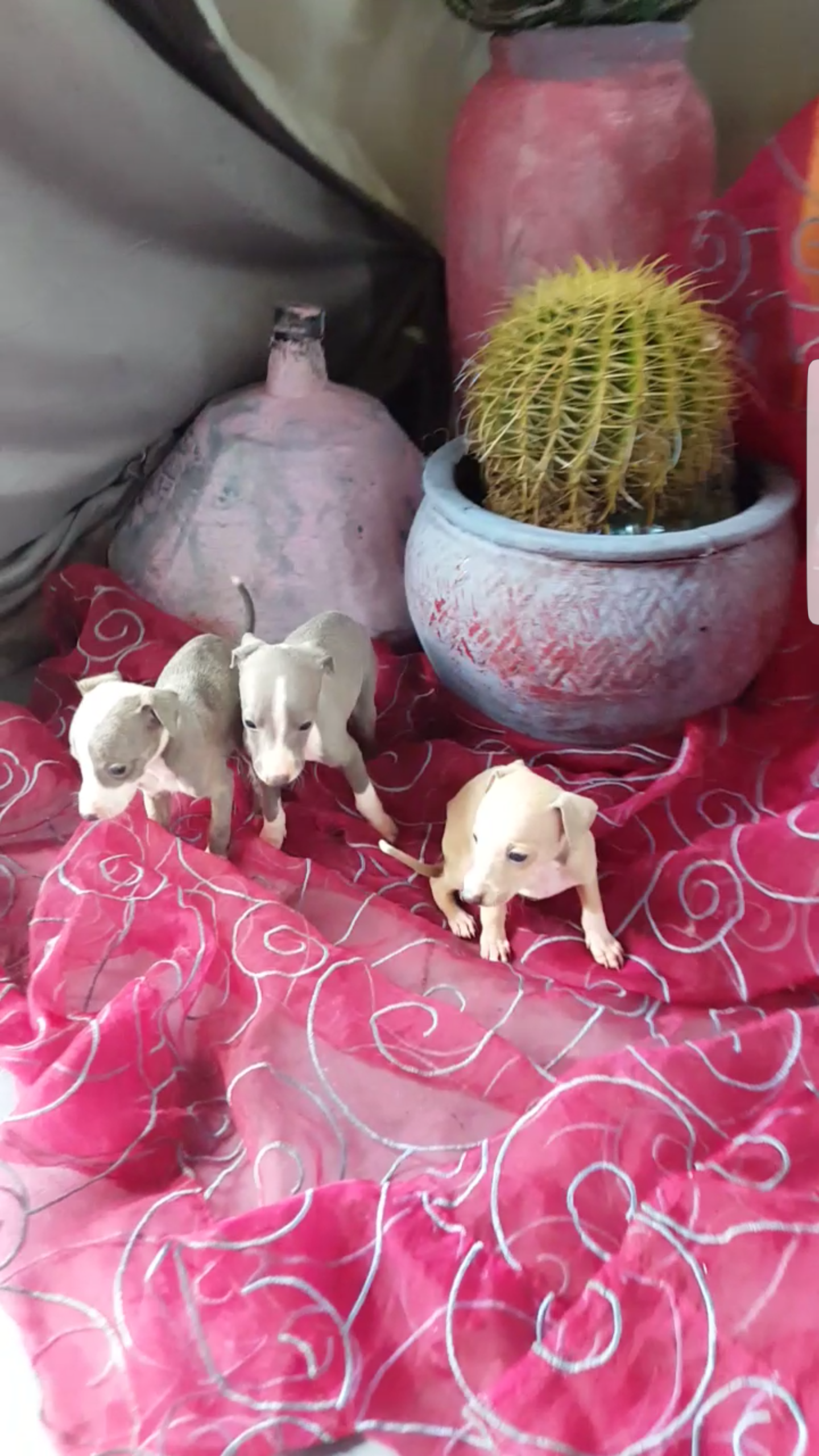 Italian Greyhound Miniature Greyhound / Italiaanse windhond Puppies