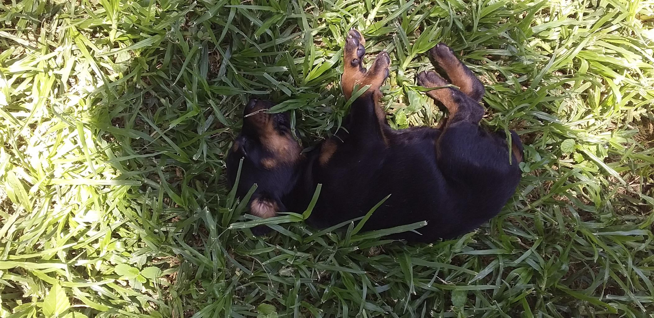 DOBERMAN PUPPIES FOR SALE - LARGE BREED