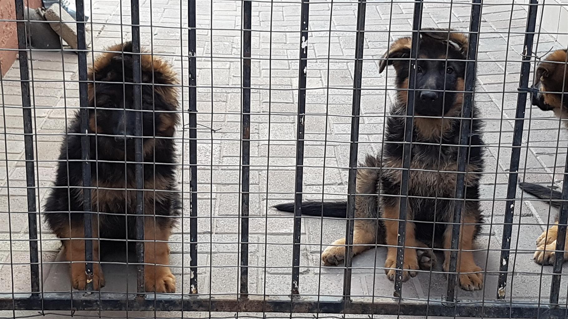 Beautiful Registered German Shepherd Puppies