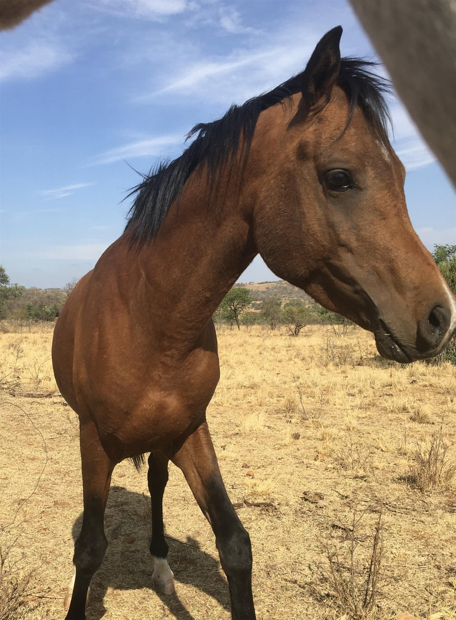 Arabian Stallion for sale