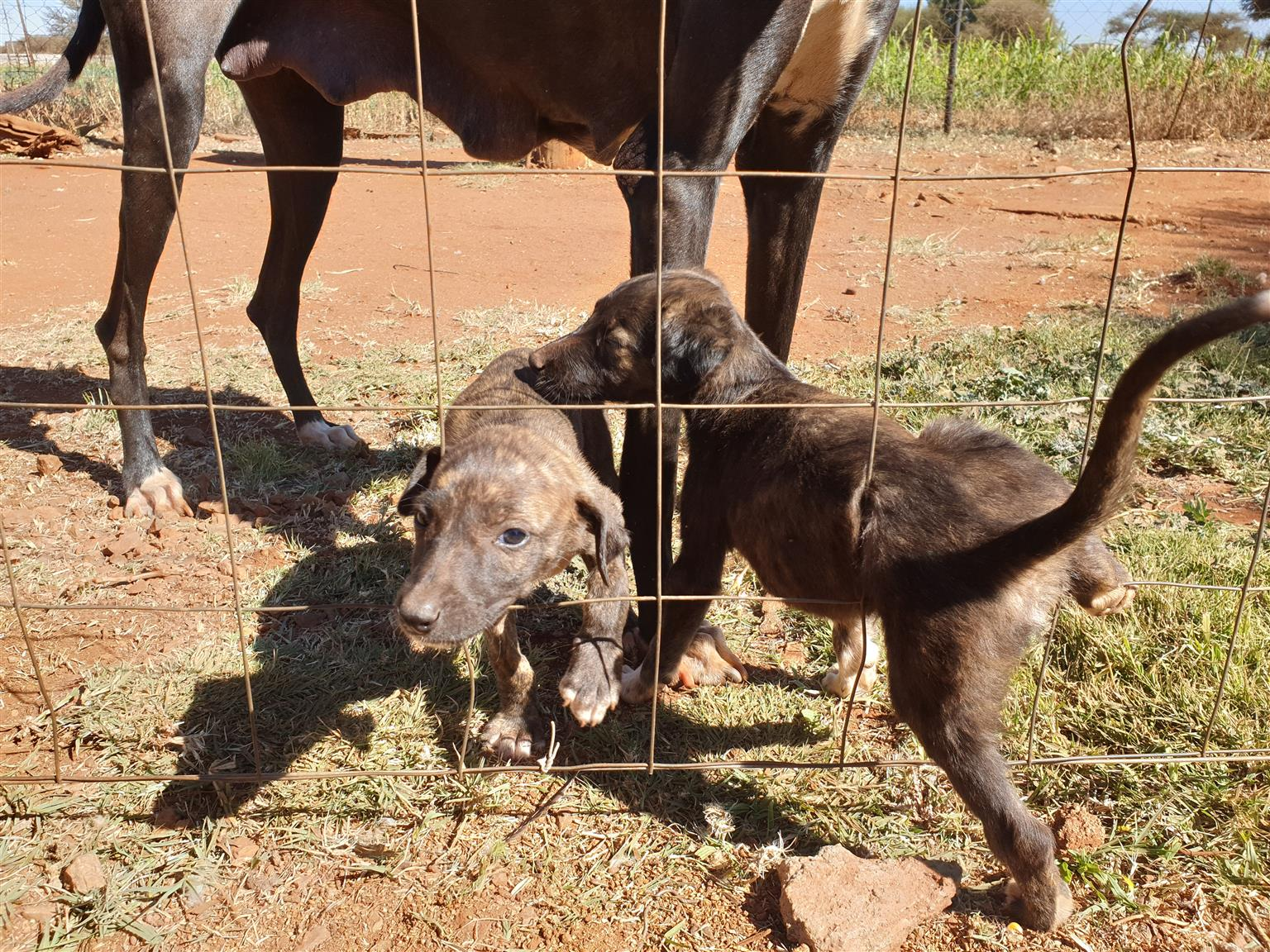 Grey hound for sale