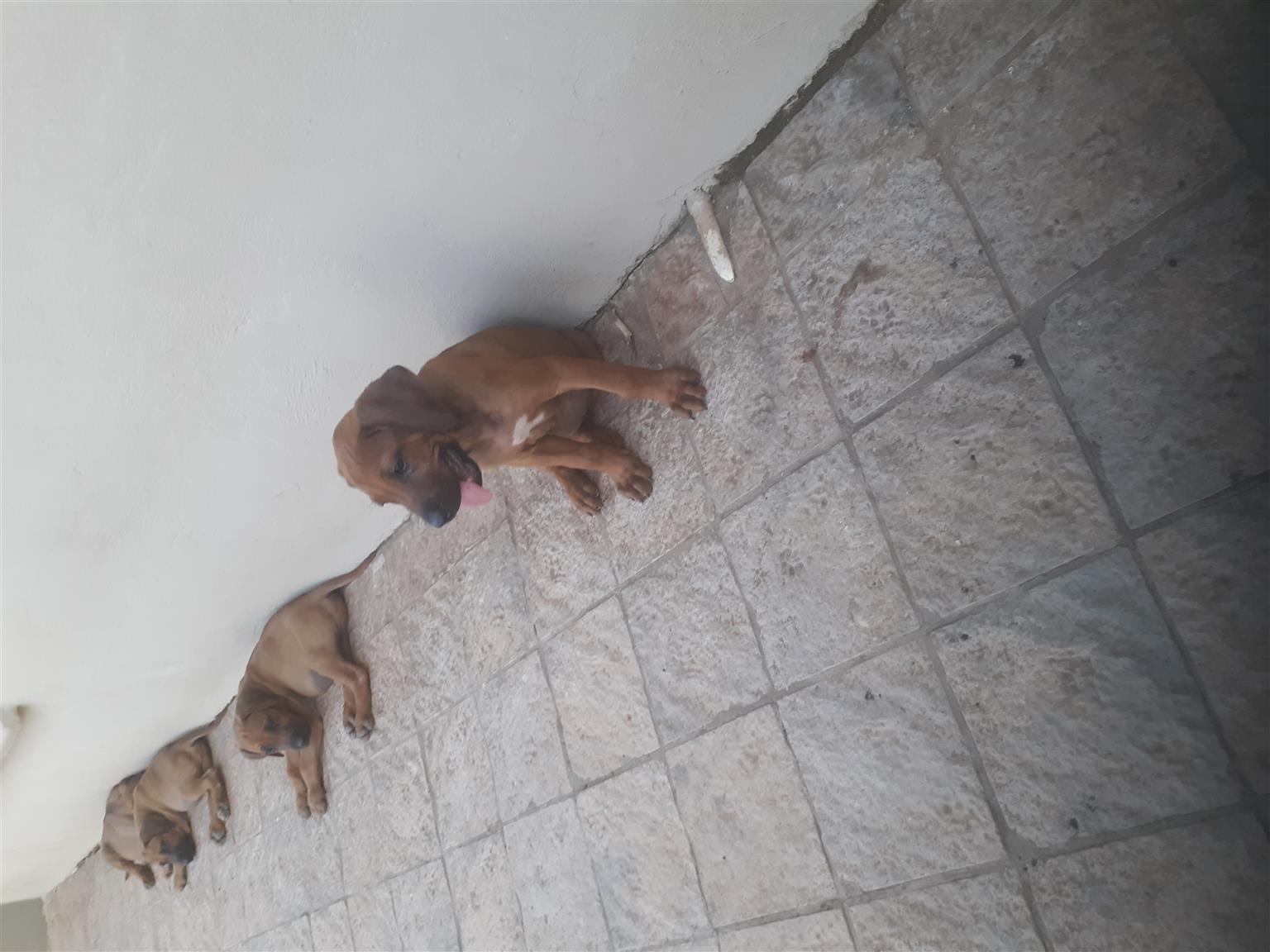 Ridgeback Puppies 9 weeks old