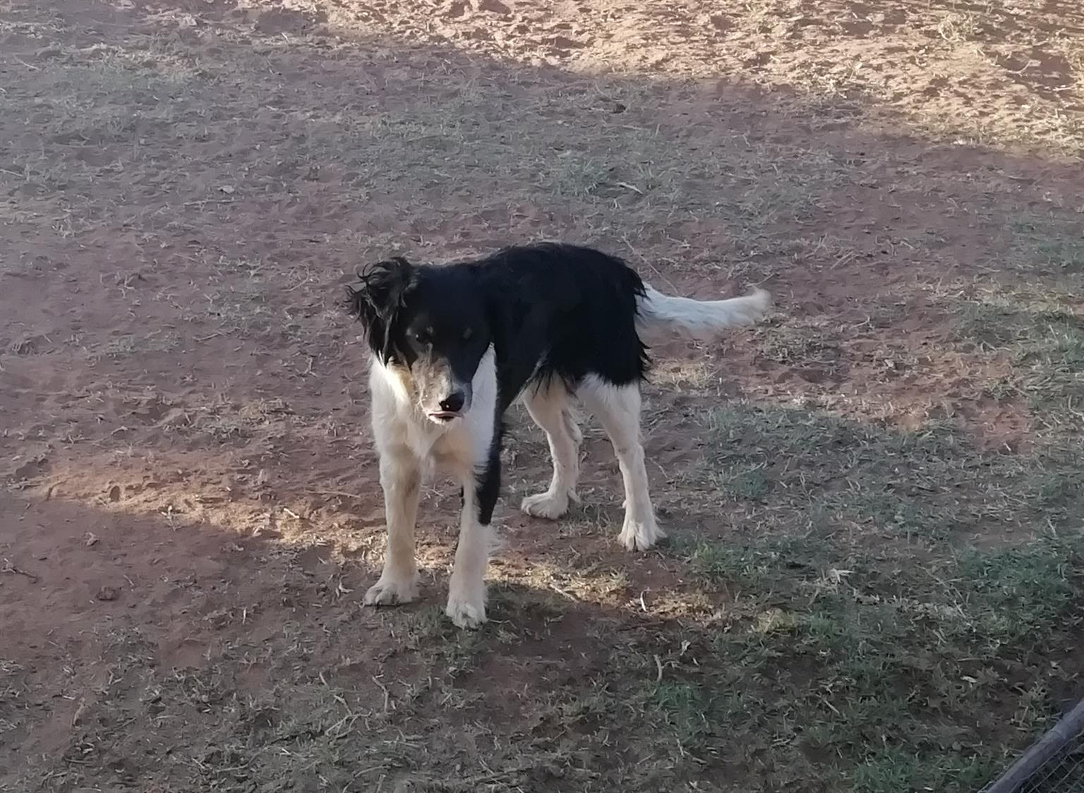 Fox Terrier x Border Collie