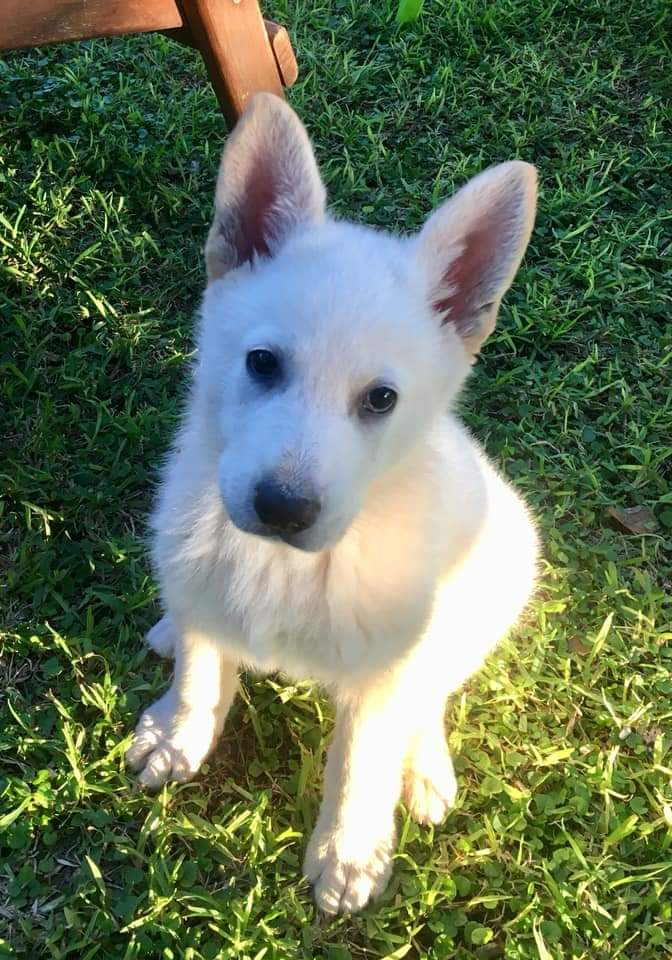 White Swiss Shepherd for sale.
