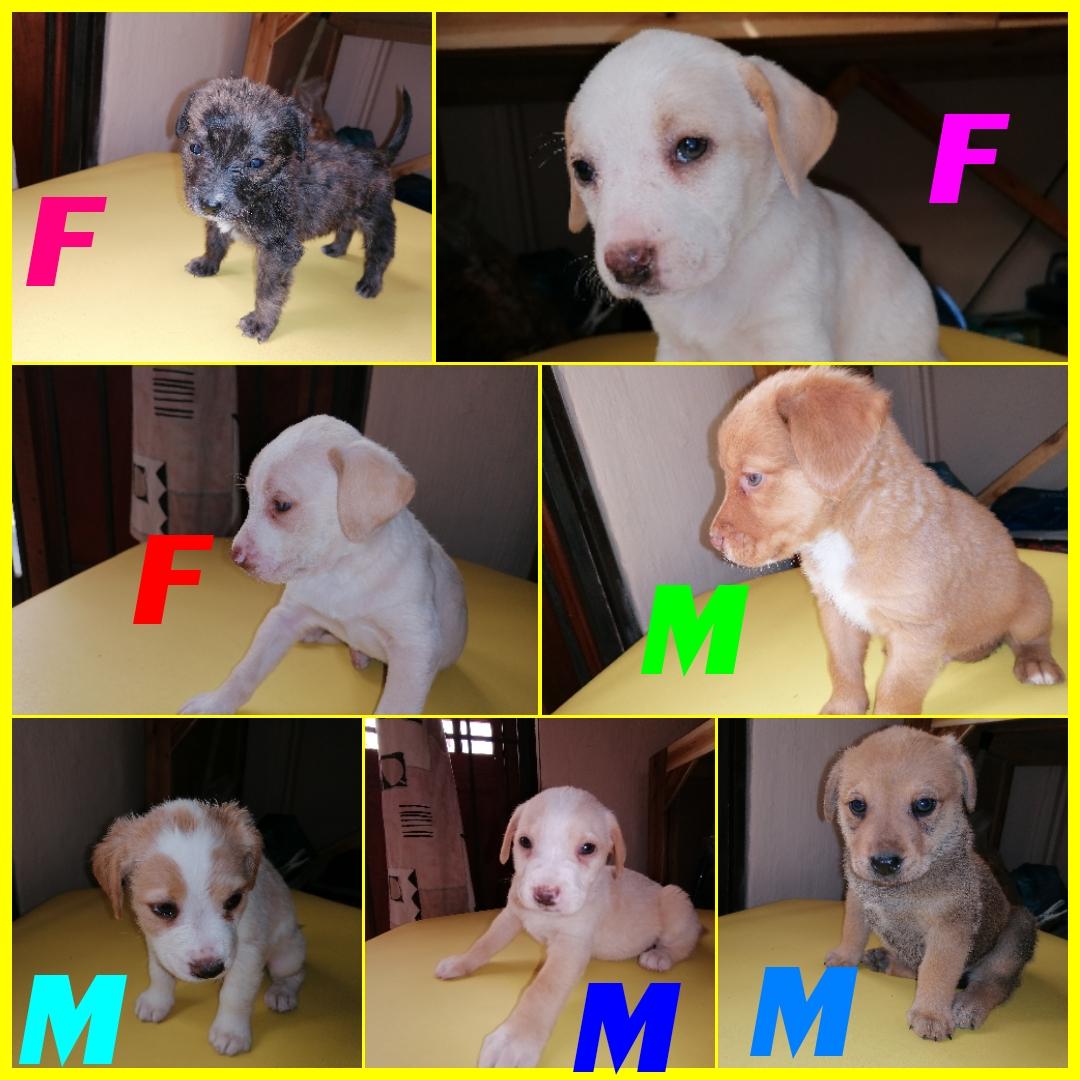 Labrador puppies for sale