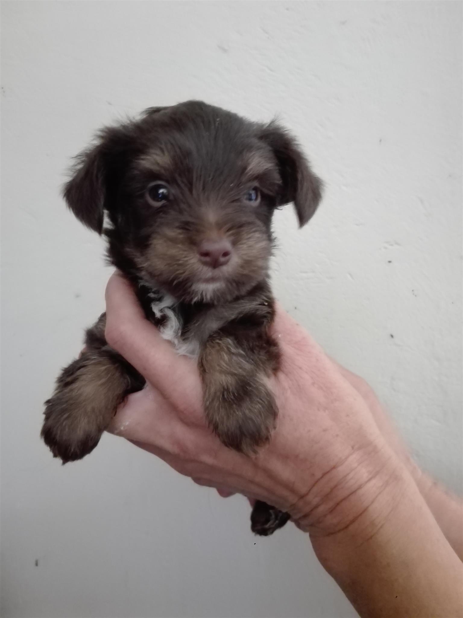 Yorkies (Yorkshire Terrier )