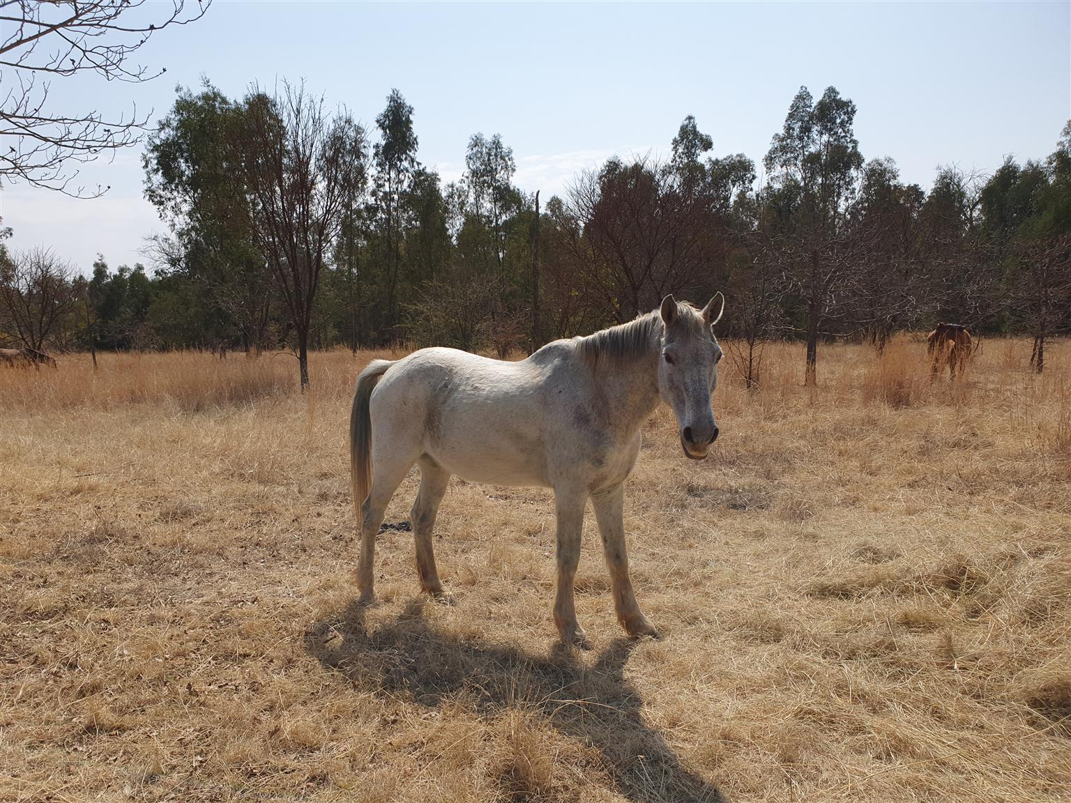 Grey Gelding for sale