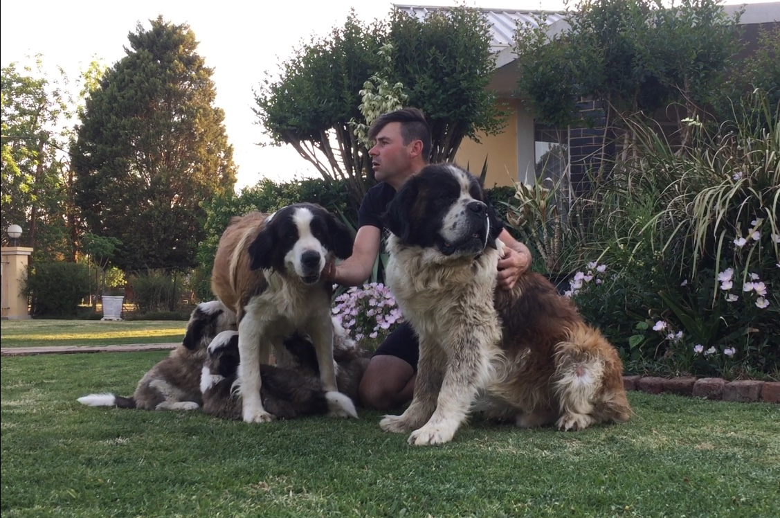2 male Saint Bernard puppies for sale
