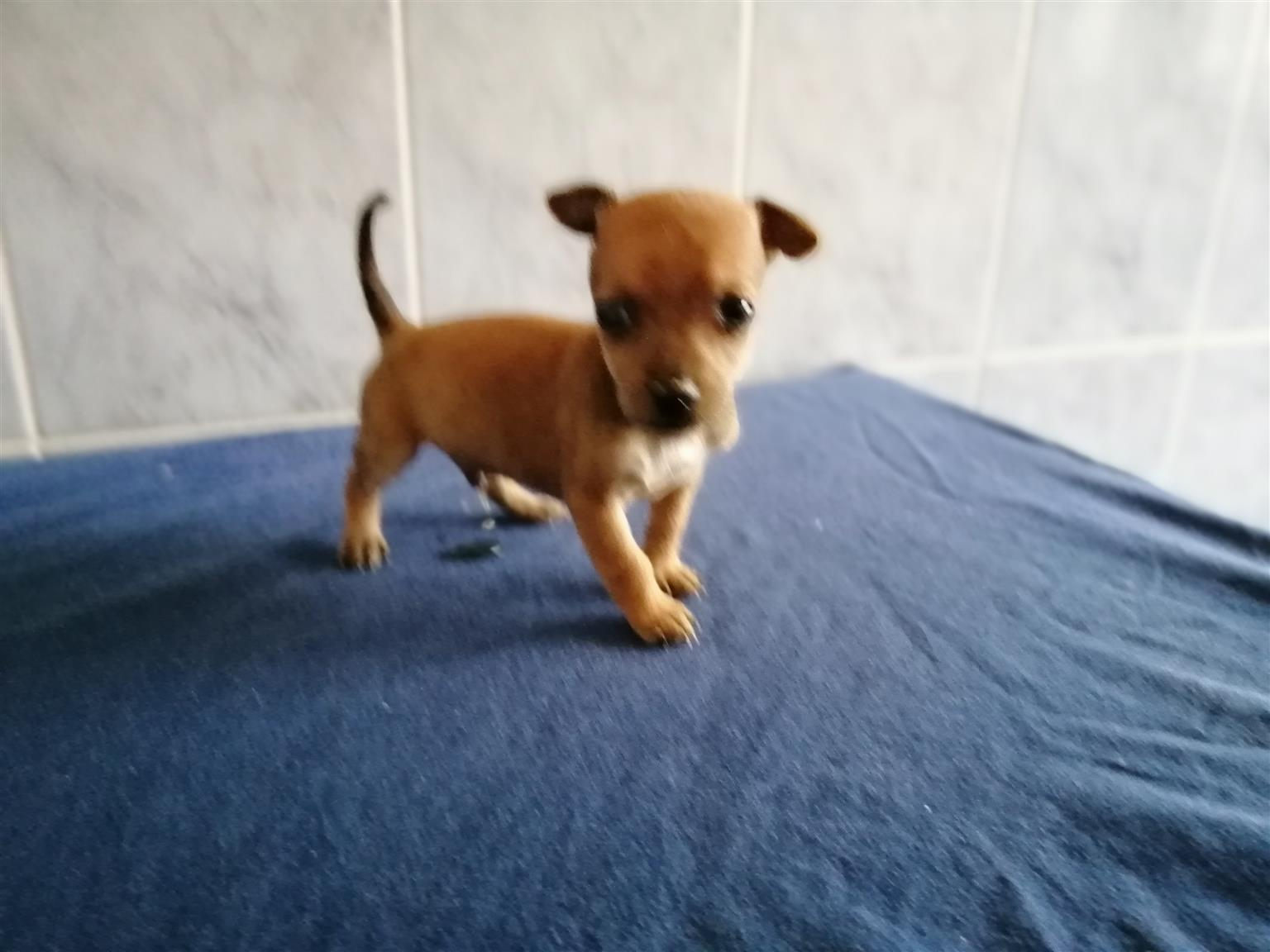 Miniature pinscher / bokkie puppies, teacup
